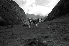 The Cow Edition │ Bavarian Beauty (picsessionphotoarts) Tags: blackandwhite bw nikon nikond750 nikonfotografie nikonphotography bayern bavaria deutschland germany berchtesgaden berchtesgadenerland alpen mountains berge kuh cow germancow neugierig curious saletalm weitwinkel afszoomnikkor1424mmf28ged