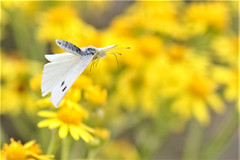 cabbage white in flight (Paul Wrights Reserved) Tags: butterfly butterflies butterflyinflight insect inflight insects insectinflight wings animal animals flying fly flower flowers flowering flyinginsect flyinginsects macro macrophotography action actionphotography bokeh botanical bokehphotography