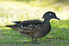 Female Wood Duck (careth@2012) Tags: duck bird nature wildlife nikon d3300 nikond3300 beak feathers woodduck waterfowl femalewoodduck