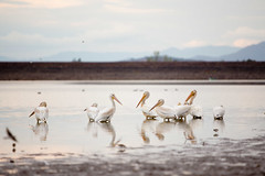 Equipo Media Free To Use Stock Photos (EquipoMedia) Tags: yellow agate lake birds cranes high quality southern oregon resovoir close up sharp