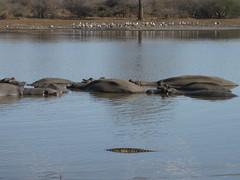 Crocodile swimming past hippos