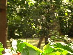 London: Tiere in der Großstadt I (SebastianBerlin) Tags: 2018 england london sloanstreet cadoganplacesouthgardens spider belgravia cadoganplacegardens spiderweb spidersweb cobweb spinne spinnennetz англия лондон паук паутина
