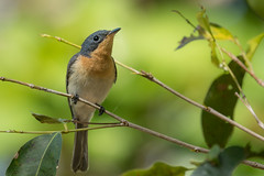 Leaden Flycatcher (Myiagra rubecula) (Rhys Sharry) Tags: monarchidae aves bird cairns australia rhyssharry leadenflycatcher myiagrarubecula myiagra wildlife passeriformes queensland