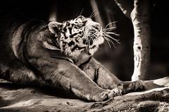 _DSC2455.jpg (sylvainbenoist) Tags: photo mammifères félins animaux tigre chordés nb nature chordata