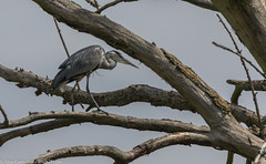 9Q6A1882 (2) (Alinbidford) Tags: alancurtis alinbidford brandonmarsh greyheron nature wildbirds wildlife