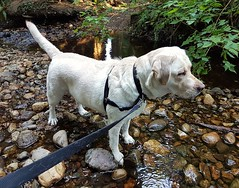 Gracie looking quite focused (walneylad) Tags: gracie dog canine pet puppy lab labrador labradorretriever cute august summer evening lynnvalley hunterpark swim creek