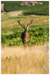 Red Deer male Stag - Cervus elaphus / Taken at Bradgate Park Northwest of Leicester - UK (R ERTUG) Tags: nikond610fx nikkor200500mmf56eafse bradgatepark rertug reddeer stag cervuselaphus leicestershire ertug bradgate