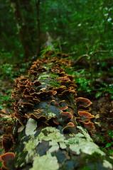 Forêt relique de la Sainte Baume. (laurentbarckley) Tags: champignon mushroom forêt forest darkness wet moisture sombre buche beech var provence saintebaume humide