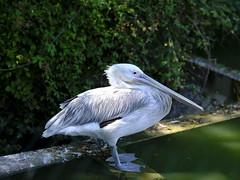 Pelican Pélican (cosbrandt) Tags: gfx50s gf110mm pelican french safari provence vaucluse