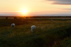 Sunset on the marshes (Nige H (Thanks for 15m views)) Tags: nature landscape sun sunset marsh marshes animals sheep devon england sky cloud countryside englishcountryside