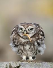 Little owl (bilska.anna) Tags: