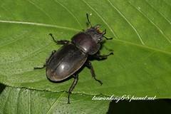 台灣深山鍬形蟲 (雌) (wujipixnet) Tags: 昆蟲 鞘翅目 鍬形蟲