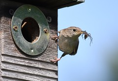 House wren bringing a spider back to the nest (U.S. Fish and Wildlife Service - Midwest Region) Tags: wren bird animal wildlife nature michigan mi summer 2018 august nest food eating feeding young spider