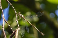 Libelle beim Sonnetanken (kittimat62) Tags: libelle dragonfly natur nature ngc nabu naturschutzhof insekten niederrhein nrw