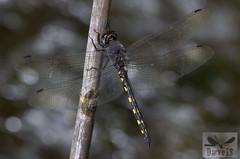 Ringed Cascader - Zygonyx torridus (Kirby, 1889) ( BlezSP) Tags: ringedcascader zygonyx torridus libellulidae gran canaria spain libelula odonato