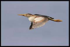 Least Bittern (Lee_Marcus) Tags: leastbittern bittern ixobrychusexilis heron waterbird waterfowl flight inflight