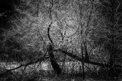Medusa Tree - Nine Mile Creek (j-rye) Tags: lkg8 sonyalpha sonya6000 sony a6000 ilce6000 mirrorless ninemilecreek handheld monochrome blackandwhite 840bw123 bw