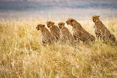 Surveying the herd before the kill.jpg (Darren Berg) Tags: cheetah kenya africa cat termite portrait maasai masai mara hunter