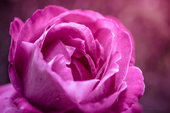 Sony a7 50mm 2.8 macro (Jasrmcf) Tags: ilce7 sel50m28 sony sony50mm sonyimages sonymacro sonya7 fullframe flower flowers garden nature ngc greatphotographers colourful colourartaward bokeh bokehlicious bokehgraph smooth blur dof detail depthoffield rose pink beautiful