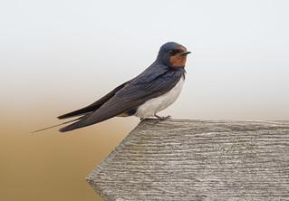 Swallow Minsmere RSPB 12-08-2018-6537