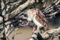 Rufous Night Heron (Nycticorax caledonicus hilli) (Dave 2x) Tags: nycticoraxcaledonicushilli nycticoraxcaledonicus nycticorax hilli rufousnightheron nankeen centennialpark sydney nsw australia leastconcern