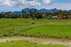Zátiší s rýžovým polem, bůvolem a horami (zcesty) Tags: zvířata pole malajsie7 krajina hory buvol malajsie langkawi dosvěta kedah malaysia my
