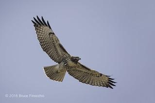 Juvenile Red-Tailed Hawk In Full Flight