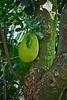 Jack Fruit and lichen (LarryJay99 ) Tags: mountsbotanicalgardens nature westpalmbeach florida plants foliage urbanvegetation tree lichen greenery jackfruit treebark bark