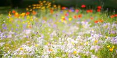 confetti storm (dapalmerpeter (slow & low)) Tags: dapalmerpeter bokeh red blue meadow dof poppy wideopen summer confetti colors
