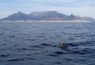 Cape gannet release