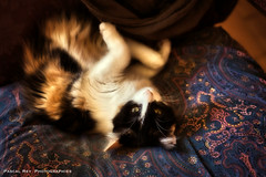 _DSC3970 (Pascal Rey Photographies) Tags: chat chatte cat gato gatto katze animaux animalerie animals animales animali fauteuil armchair coussin pascalrey nikon d700 luminar2018 pascalreyphotographies photographiecontemporaine photos photographie photography photograffik photographiedigitale photographienumérique photographierurale sépia sepia