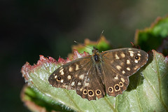 Speckled wood butterfly #1 (Lord V) Tags: macro bug insect butterfly speckledwood