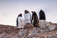 ANT180315-11529 (robertopastor) Tags: antarctica antarctique antarktika antartic antártida fuji robertopastor xt2 xf14xtc xf100400 aq
