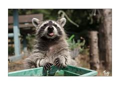 Jackie (Fujigraf) Tags: waschbär waschen bär zunge mund pfote natur wasser baum grün tier fuji xt20 fujixf23mm1