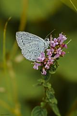 Holly Blue (ianbartlett) Tags: outdoor macro landscape wildlife nature birds butterflies dragonflies cattle flight flowers colour light shadows clouds