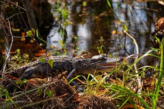 Baby Alligator (g_4life101) Tags: sony a6000 icle6000 alpha alligator southflorida icle3000 a3000 grassywaters nature animals sel55210
