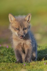 Fox kit 😍 (Mirwais Azami) Tags: fox foxkit pacificnorthwest wildlife nature outdoors redfox