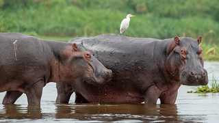 hippos with igret in river Nile