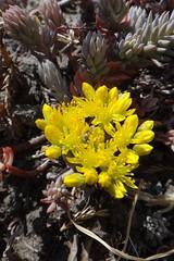 Расцвел очиток отогнутый (Гали) Tags: очитки отогнутый reflexum sedum суккуленты цветы цветение растения plant succulent flowers толстянковые crassulaceae outdoor