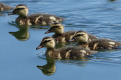 IMGP1425c Mallard duckling, Lackford Lakes, June 2018 (bobchappell55) Tags: lackfordlakes nature wild wildlife suffolk bird duck duckling mallard