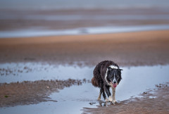 A wet day at the beach (JJFET) Tags: border collie dog dogs sheepdog herding