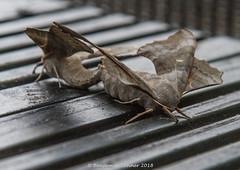 Poplar Hawk-moth - Laothoe populi (frattonparker) Tags: btonner bokeh depthoffield hawkmoth isleofwight lightroom6 moth nikond610 raw tamron28300mm frattonparker