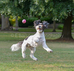 Rio Boy (edwinbarson) Tags: dog dogs cockapoo nikon photography pets pet