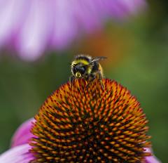 Bug eye (sam.naylor) Tags: kew gardens botanical london uk britain royal plants nature fauna flora colour dslr pentax k5 macro insects bug bee bumble