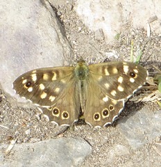 WHEELOCK WOOD (d p hughes) Tags: speckledwood parargeaegeria butterflies bugs insects wildlife nature outdoor colour wheelock cheshire