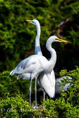 Great Egrets (mayekarulhas) Tags: oceancity newjersey unitedstates us great egret wildlife wild bird avian canon canon500mm canon1dxmark2