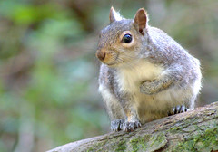 Picture of a grey squirrel (Tony Worrall) Tags: pictureofagreysquirrel picture grey squirrel animal beast creature nature natural cute furry fur climb outside outdoor wild wildlife rodent place buy sell forsale stock image stall