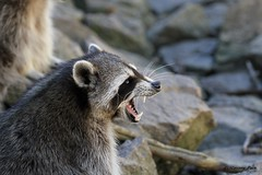 Raton laveur (Passion Animaux & Photos) Tags: raton laveur raccoon racoon procyon lotor parc animalier auvergne france