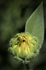 Just .... The Circle of Life ... (Parowan496) Tags: sunflower bud happysunflowersunday hss canon eos 80d yellow green nicepeople circleoflife seedplantflowerseed