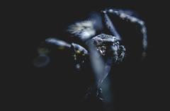 Araña (Julio Olguin) Tags: méxico mexico nikon d5100 dslr 50mm macro bokeh animals animales spiders arañas nature